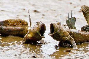 Loài cá có khả năng đi bộ, nhảy trên cạn