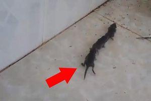 Đàn chuột nối đuôi nhau đi một cách trật tự