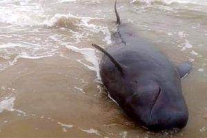 Quảng Ngãi: Nỗ lực giải cứu cá Ông Chuông mắc cạn