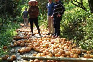 14 nghìn tấn cam sành Hà Giang đã rụng và có xu hướng rụng tiếp!!!