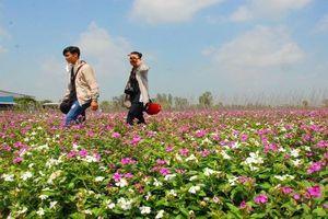 Chiêm ngưỡng cánh đồng hoa đẹp như tranh ở An Giang