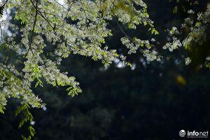 Ngắm hoa sưa nở trắng phố phường Hà Nội