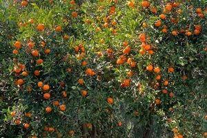 Khu vườn đầy cây trái trĩu quả của cặp đôi Phương Thảo – Ngọc Lễ ở Mỹ
