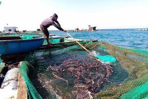 Lãi hàng trăm triệu đồng từ nuôi cá bớp lồng bè trên đảo Lý Sơn