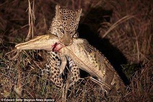 Báo non ranh mãnh khiến cá sấu nhận cái kết đau đớn