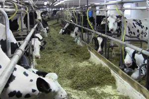 Đảng Bảo thủ kêu gọi đền bù cho ngành sữa Canada khi NAFTA 2.0 có hiệu lực