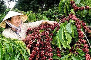 Giá cà phê hôm nay 1/3: Giảm nhẹ 100 đồng/kg
