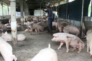 Thừa Thiên - Huế nỗ lực tái đàn sau dịch tả lợn châu Phi