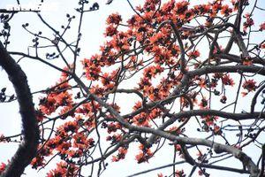 5 cây gạo đỏ rực giữa trời tháng 3 bên ngôi đền cổ Hải Phòng