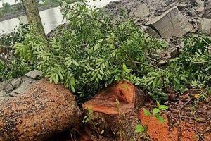 Vụ chặt một cây xà cừ bị phạt 20 triệu đồng: Thời hạn ra quyết định xử phạt không đảm bảo