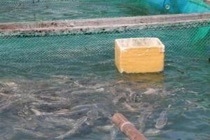 Sử dụng vacxin phòng bệnh mù mắt ở cá bớp
