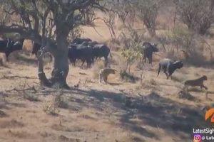 Trâu rừng hợp sức giải cứu đồng loại khỏi vòng vây của bầy sư tử