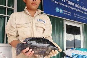 Cá rô phi có màu đen sẫm nuôi trên hồ thủy điện đạt tiêu chuẩn xuất khẩu