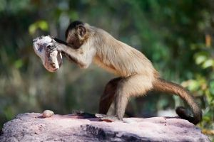 Loài khỉ biết đập đá để tách hạt