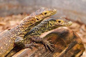 Hi hữu: Rồng Komodo sinh ba bên trong sở thú Ấn Độ