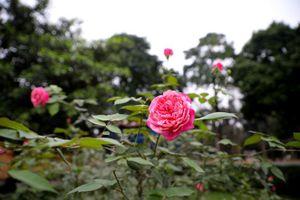 Hàng trăm gốc hồng cổ khoe sắc ở Hoàng Thành Thăng Long