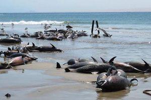 86 con cá heo chết bí ẩn trên bãi biển ở Namibia