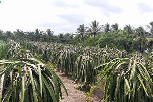 Chở hàng nghìn mét khối nước cứu vườn thanh long 'khát nước'
