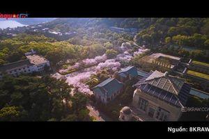 Sắc hoa anh đào thắp sáng Vũ Hán sau những tháng ngày chống chọi dịch nCoV