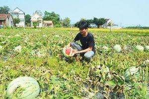 Sớm chấm dứt tình trạng trồng dưa hấu theo phong trào