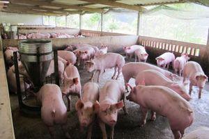Từ ngày 1/4, đưa giá thịt lợn hơi về mức bình quân 70 nghìn đồng/kg