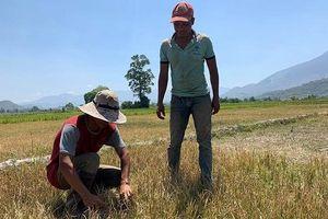 Hàng nghìn héc-ta cây trồng ở Ðắk Lắk bị khô hạn