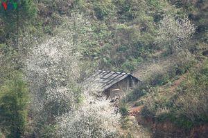 Yên Bái mùa hoa Sơn tra bừng sáng núi đồi