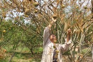 Nhiều diện tích cây ăn quả chết khô ven sông La Ngà