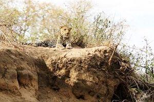 Báo đốm suýt bỏ mạng trước nanh vuốt của sư tử vì... ngủ quên