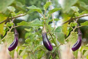 CLIP: Hướng dẫn trồng cà tím trong thùng xốp cho năng suất cao