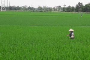 Tuyên Quang: 40 ha lúa xuân bị chuột gây hại