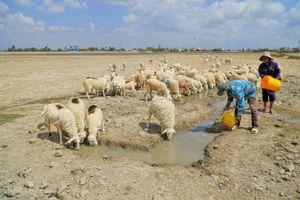 Chăn nuôi cừu trên vùng đất khô hạn