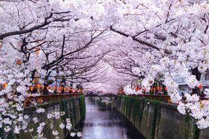 Mùa hoa anh đào rực rỡ bị 'bỏ quên' giữa tâm dịch tại Nhật Bản