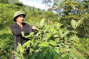 Lào Cai: Chuyển đổi cây trồng, nâng cao thu nhập cho người dân