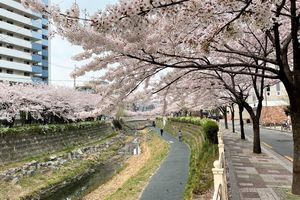 Hoa anh đào đua nhau khoe sắc tại Xứ sở Kim Chi