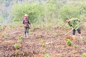 Tin NN Tây Bắc: Sơn La khôi phục diện tích cà phê