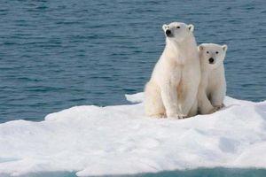 Chú gấu nhỏ ở Bắc Cực dạy ta điều gì về môi trường?