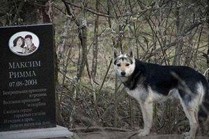 Chú chó 16 năm không rời mộ chủ