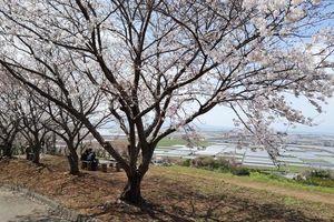 Mùa hoa anh đào yên bình trên khắp thế giới