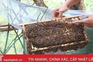 Ong mật trà sơn Can Lộc 'bay xa'