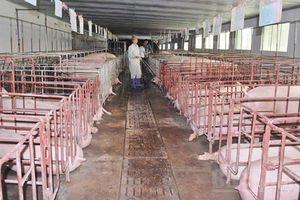 Tìm giải pháp thúc đẩy phát triển chăn nuôi lợn