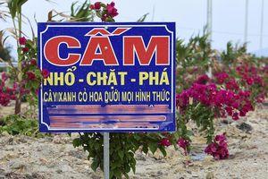 Yêu cầu xử nghiêm tình trạng trộm hoa giấy trên quốc lộ 4.400 tỷ