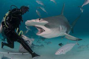 'Sởn tóc gáy' cảnh thợ lặn dùng máu tươi dẫn dụ cá mập đầu búa