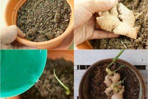 Cách trồng gừng tại nhà cho củ vừa to vừa mập, tha hồ ăn quanh năm không hết