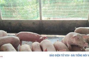 Đồng Tháp khó khăn trong việc tái đàn vì nguồn cung lợn giống khan hiếm