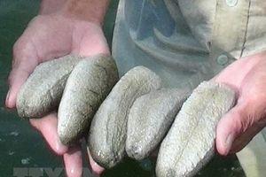 Cà Mau phát hiện vụ vận chuyển hơn 1,3 tấn động vật nghi là hải sâm