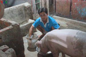 Giá lợn giống 2,5-3 triệu đồng/con, người nuôi khó tái đàn