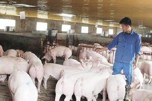 Thịt lợn giá cao: Vì sao người chăn nuôi không mấy mặn mà với tái đàn lợn?
