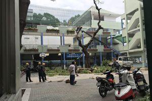 Đừng vội vàng đốn bỏ cây xanh trong trường học ở TPHCM