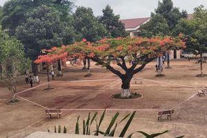 Cộng đồng mạng tranh cãi gay gắt về hình ảnh cây phượng bị 'cách ly' giữa sân trường